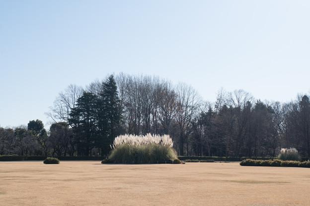 神代植物公園【パンパスグラス】1