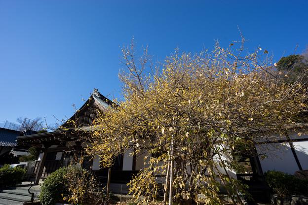 【西方寺の蝋梅】1