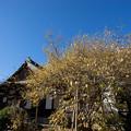 Photos: 【西方寺の蝋梅】1