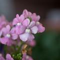 冬の庭に咲く花【宿根ネメシア】1
