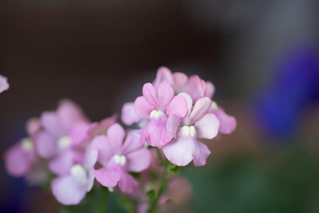 冬の庭に咲く花【宿根ネメシア】2