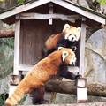野毛動物園レッサーパンダ