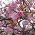 体育館の八重桜