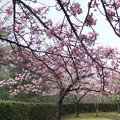 体育館の八重桜2