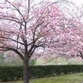 体育館の八重桜3