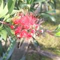 金宝樹 ブラシの木