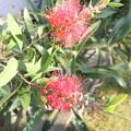 金宝樹 ブラシの木2