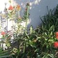 金宝樹 ブラシの木 3