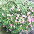 庭の皐月の花
