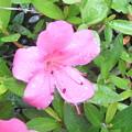 庭の皐月の花2