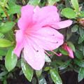 庭の皐月の花3