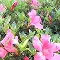 庭の皐月の花4
