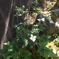 庭のシュウメイギク