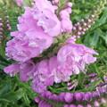 家庭菜園のハナトラノオ4