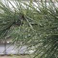 写真: 庭の松の木
