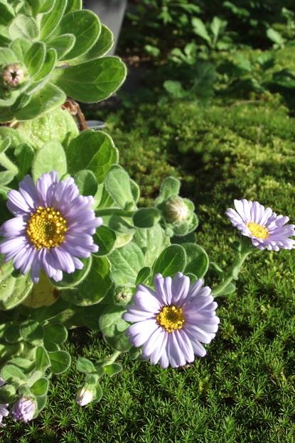 鉢植えのハマギク3