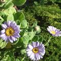 写真: 鉢植えのハマギク3