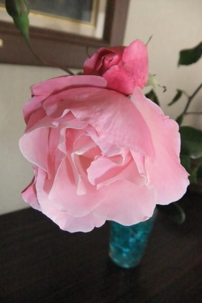 薔薇の蕾が咲きました