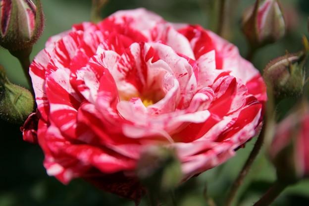 IMG_6114ばら園・薔薇(アラベスク)