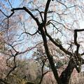 写真: IMG_2769京都御所・近衞邸跡の糸桜