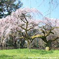 Photos: IMG_2774京都御所・近衞邸跡の糸桜