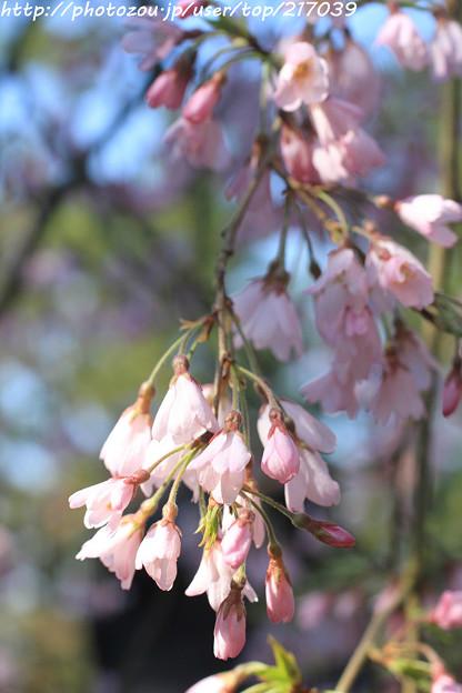 IMG_2791京都御苑・近衞の糸桜