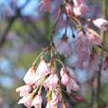 写真: IMG_2791京都御苑・近衞の糸桜