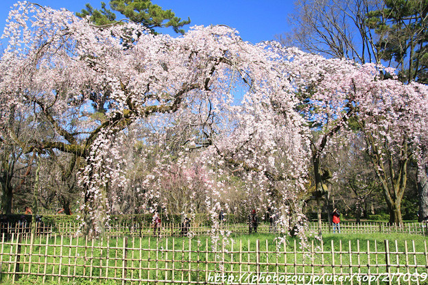 写真: IMG_2801京都御所・近衞邸跡の糸桜