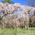 IMG_2801京都御所・近衞邸跡の糸桜