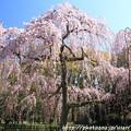 写真: IMG_2824京都御所・出水の糸桜
