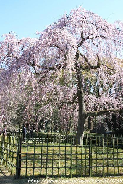 IMG_2825京都御所・出水の糸桜