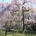 写真: IMG_2825京都御所・出水の糸桜
