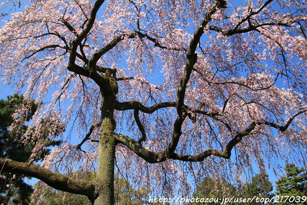 IMG_2832京都御所・出水の糸桜