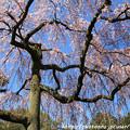 写真: IMG_2832京都御所・出水の糸桜
