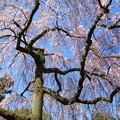 IMG_2834京都御所・出水の糸桜