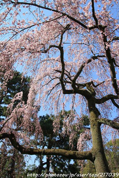 IMG_2836京都御所・出水の糸桜