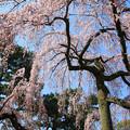 写真: IMG_2836京都御所・出水の糸桜