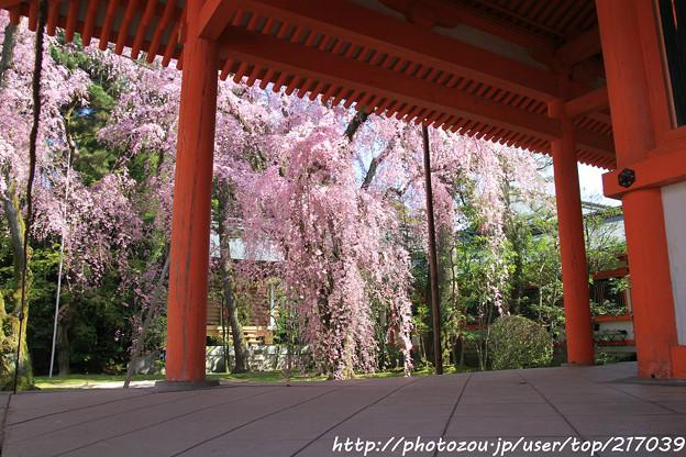 IMG_3114平安神宮・南神苑・八重紅枝垂桜