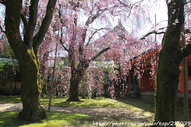 IMG_3117平安神宮・南神苑・八重紅枝垂桜