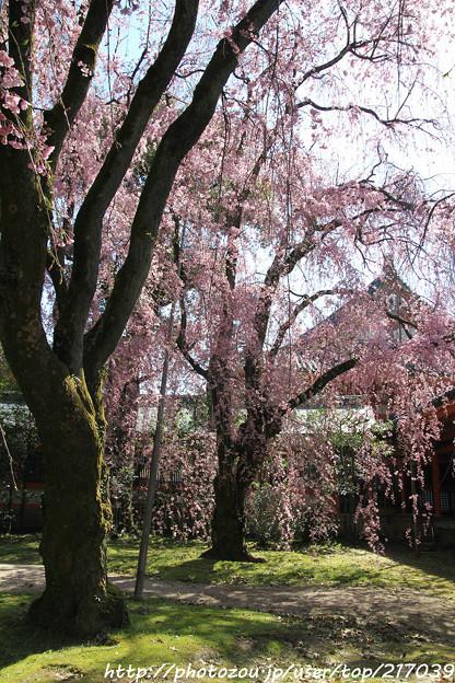 IMG_3118平安神宮・南神苑・八重紅枝垂桜