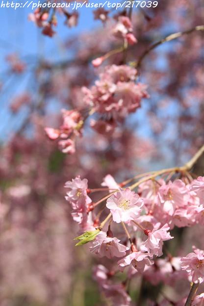 IMG_3134平安神宮・南神苑・八重紅枝垂桜
