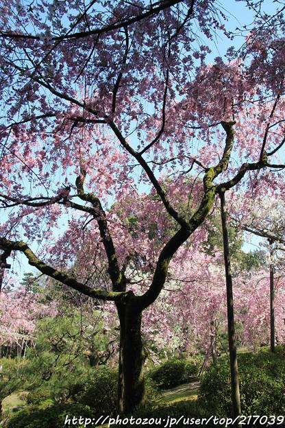 IMG_3147平安神宮・南神苑・八重紅枝垂桜