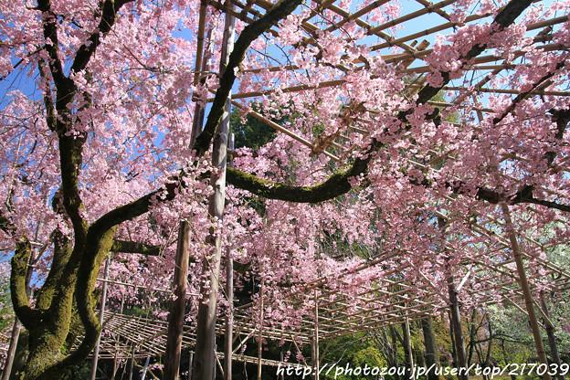 IMG_3181平安神宮・南神苑・八重紅枝垂桜