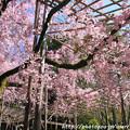 Photos: IMG_3181平安神宮・南神苑・八重紅枝垂桜