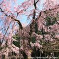 Photos: IMG_3190平安神宮・南神苑・八重紅枝垂桜