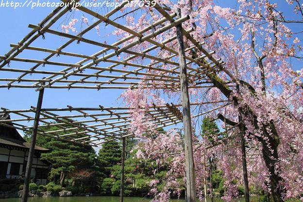IMG_3270平安神宮・東神苑・紅枝垂桜
