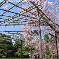 Photos: IMG_3270平安神宮・東神苑・紅枝垂桜