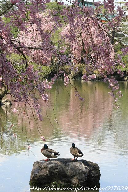 IMG_3290平安神宮・東神苑・鴨と枝垂桜