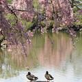 写真: IMG_3290平安神宮・東神苑・鴨と枝垂桜