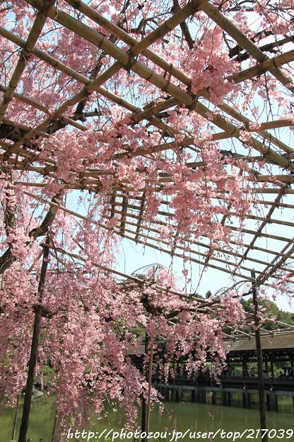 IMG_3320平安神宮・東神苑・八重紅枝垂桜